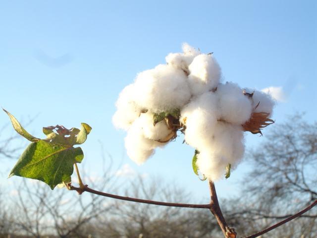 Planta algodoeiro