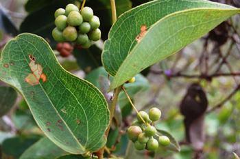 Planta japecanga