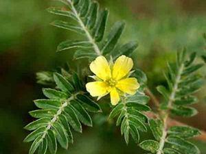 Planta tribulus terrestris