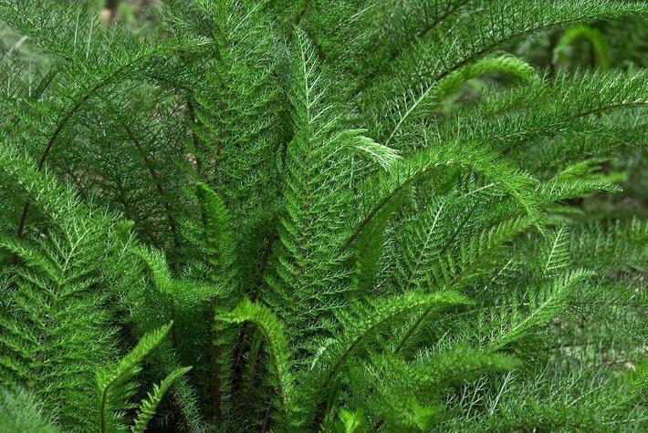 Resultado de imagem para mil-folhas planta