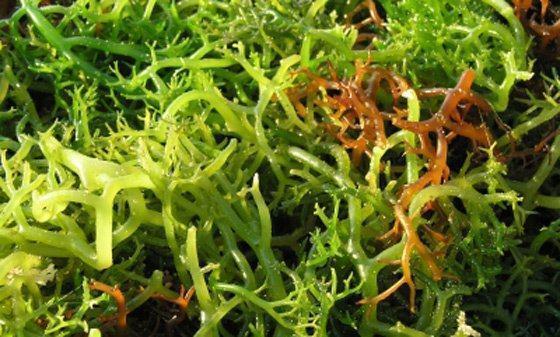 Alga ágar-ágar