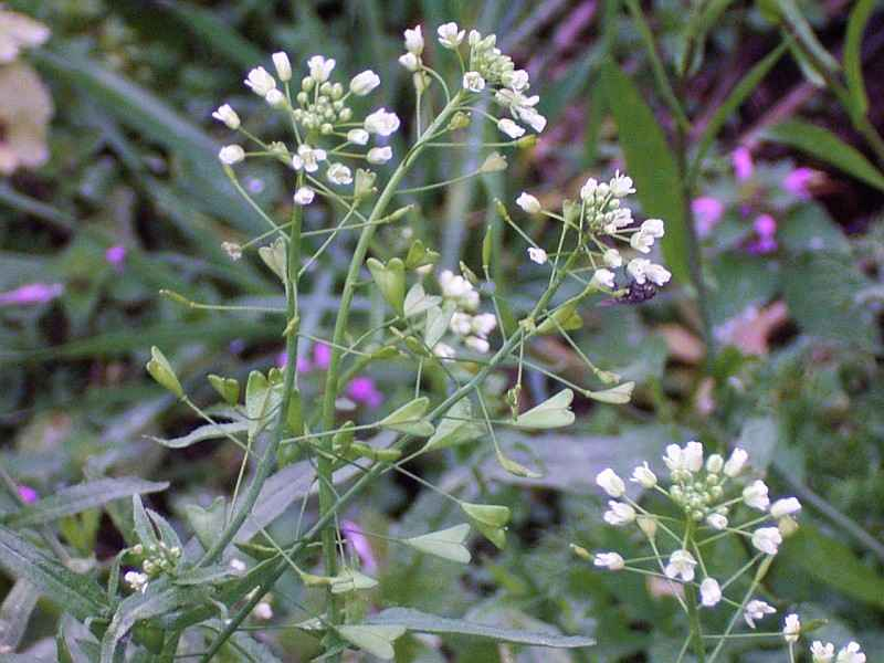 Bolsa-de-pastor - Benefícios e propriedades dessa planta