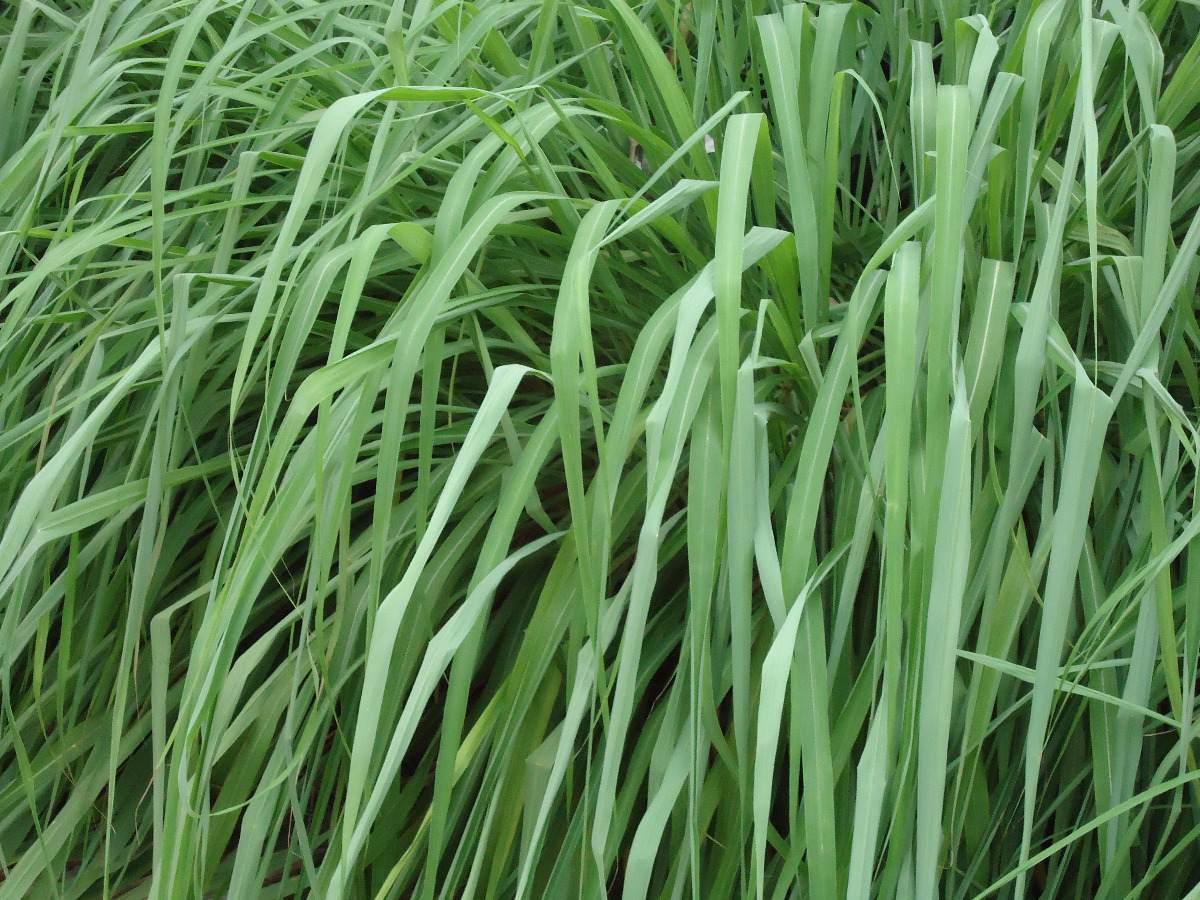 Citronela - Benefícios e propriedades dessa planta e seu chá