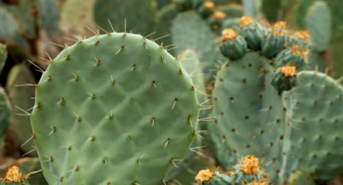 cactus benef cios e propriedades dessa planta. Black Bedroom Furniture Sets. Home Design Ideas