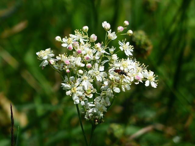 Planta foi introduzida e cultivada na América do Norte