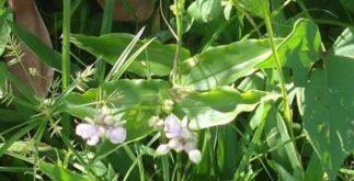 Planta Pirole