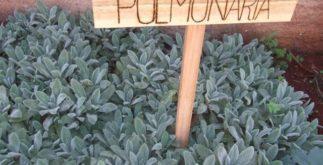 Pulmonária