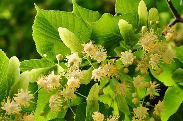Planta tíilia