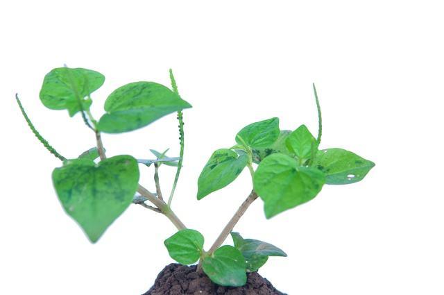 Imagem de planta Erva de Jaboti
