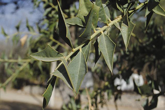 As folhas da cancorosa são indicadas para tratar problemas digestivos