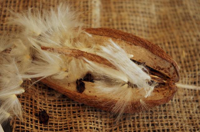 A cumacaa é muito usada para a ornamentação de jardins, mas também tem ação medicinal