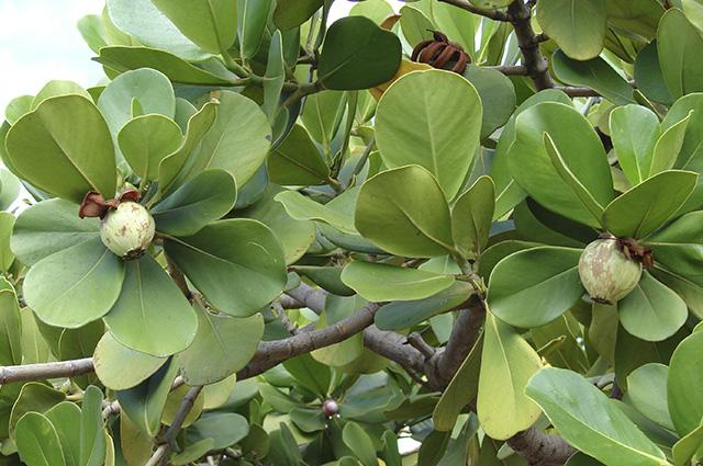 O cupai é conhecido na natureza como pseudoparasita