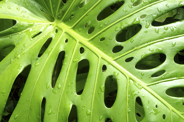 A raiz da dragão fedorento pode ser utilizada para amenizar feridas causadas por picadas de insetos.