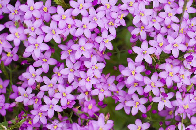 A planta êritreia é chamada cientificamente de Erythrea centaurium