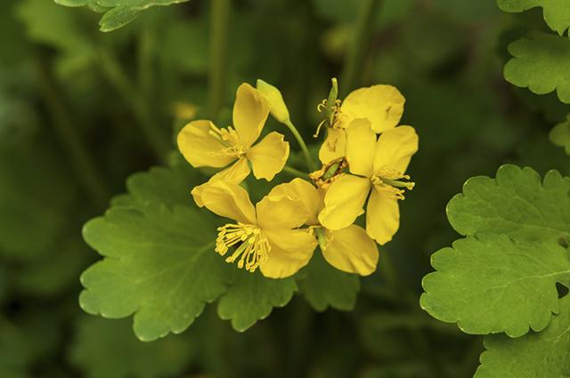 Um dos nomes populares da erva andorinha é erva-das-verrugas