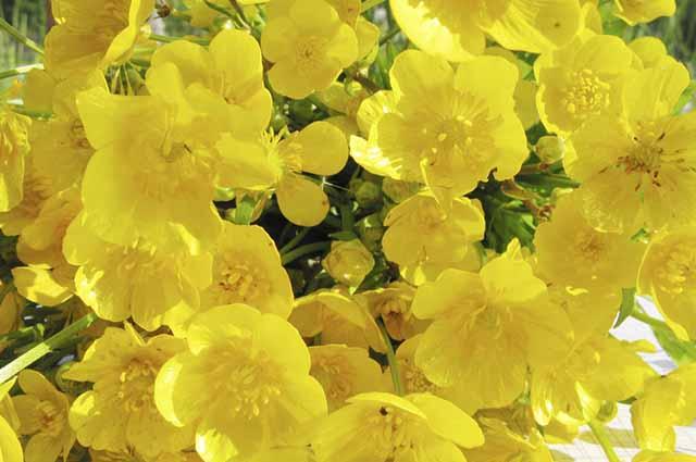 O nome científico da erva ciática é ranunculus repens