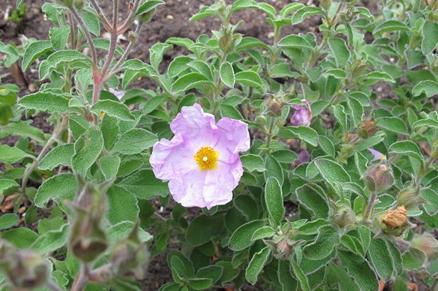 Flor de cistus incantus