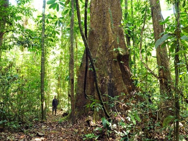 O nome científico da árvore amapa é parahancornia amapa