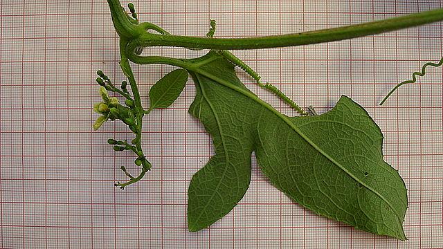 Planta taioá