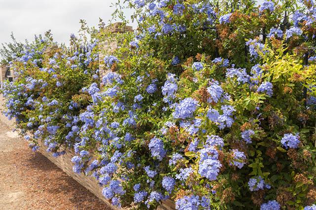 Arbustos de jasmim-azul