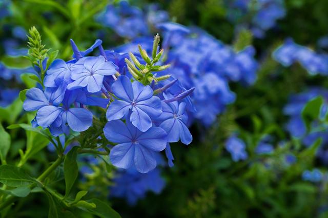 Flor de jasmim-azul