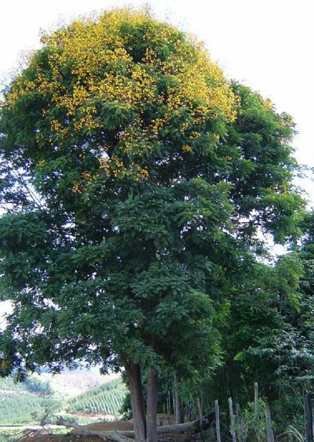 Árvore da Braúna Preta