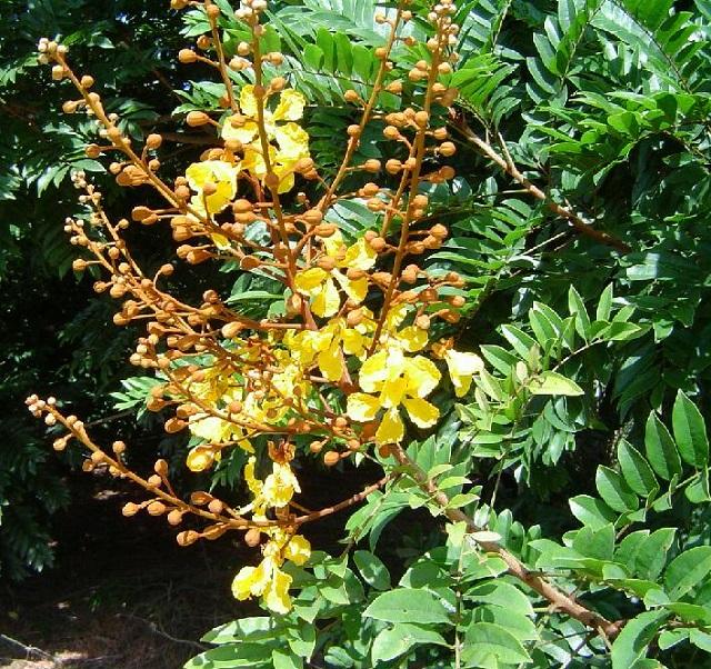Flores da Braúna Preta